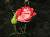 一朵小红色玫瑰 库存图片