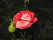 一朵小红色玫瑰 库存照片
