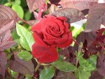 一朵小红色玫瑰 免版税库存图片