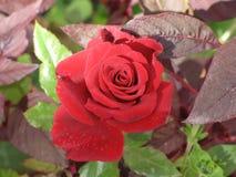 一朵小红色玫瑰 免版税图库摄影