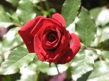 一朵小红色玫瑰 图库摄影