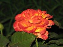 一朵小红黄色玫瑰 图库摄影