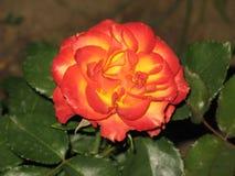 一朵小红黄色玫瑰 免版税图库摄影