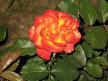 一朵小红黄色玫瑰 库存图片