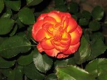 一朵小红黄色玫瑰 库存照片