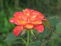 一朵小红黄色玫瑰 免版税库存图片