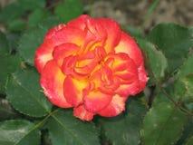 一朵小红黄色玫瑰 免版税库存照片