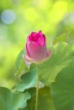 一朵小莲花开花 图库摄影