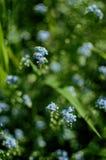 一朵小蓝色忘记我没有如此花增长 库存照片