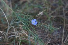 一朵小蓝色花在焦点 免版税库存照片