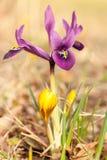 一朵小虹膜花的开花的细节 库存照片