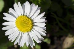 一朵小雏菊的特写镜头 免版税库存照片