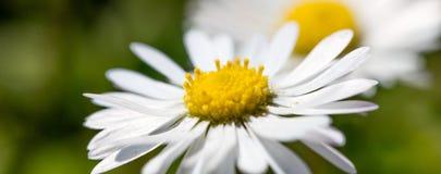 一朵小雏菊花的宏指令在绿草背景中 免版税库存图片