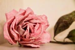 一朵干燥桃红色玫瑰的特写镜头在桌上的 免版税库存图片