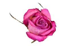 一朵干燥玫瑰色花 库存照片