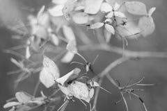 一朵干燥花的黑白软的宏观照片 库存图片