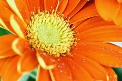 一朵开放橙色格伯雏菊的宏指令 免版税库存照片