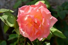 一朵开放狂放的玫瑰色花的细节与绿色叶子的 免版税图库摄影