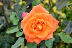 一朵开放狂放的玫瑰色花的细节与绿色叶子的 库存图片