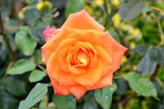 一朵开放狂放的玫瑰色花的细节与绿色叶子的 免版税库存照片