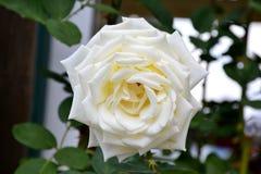 一朵开放狂放的玫瑰色花的细节与绿色叶子的 图库摄影