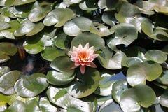 一朵开花的充满活力的桃红色莲花 库存图片