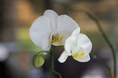 一朵开花的兰花 图库摄影