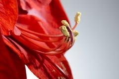 一朵开花的孤挺花花的特写镜头 免版税库存图片
