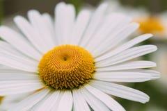 一朵开花的庭院花,白色春黄菊宏观焦点, 免版税库存图片