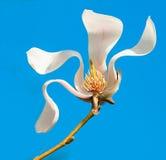 一朵开花的木兰花 库存图片