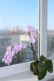 一朵开花的桃红色兰花的美好的分支 库存照片