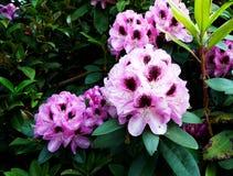 一朵开花的桃红色杜娟花的特写镜头 免版税库存照片