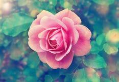 一朵开花的桃红色玫瑰的芽 库存图片