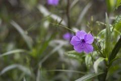 一朵开花的牵牛花的照片 库存图片
