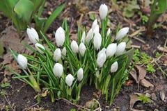 一朵开花的白色番红花的芽在早期的春天开花 免版税库存照片