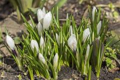 一朵开花的白色番红花的芽在早期的春天开花 免版税图库摄影