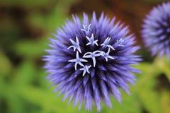 一朵开花的紫色四季不断的花 免版税库存照片