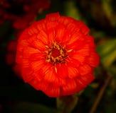 一朵开花的红色波斯菊花的顶视图 免版税库存图片