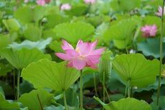 一朵开花的莲花和叶子在河 免版税库存照片