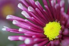 一朵开花的菊花的一个宏观看法或者Pom Pom妈咪花 免版税库存图片