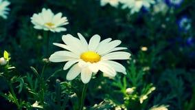 一朵开花的雏菊的特写镜头 免版税库存图片