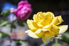 一朵开花的黄色玫瑰的花在被弄脏的背景的 免版税库存照片