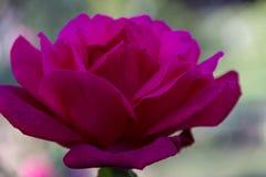 一朵开花的黑暗的桃红色或洋红色玫瑰的华美的特写镜头有淡色背景 免版税库存照片