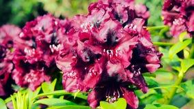 一朵开花的紫色杜娟花的特写镜头 免版税库存照片
