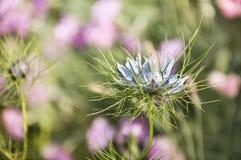 一朵异乎寻常的蓝色花的特写镜头在软的桃红色背景的 免版税库存照片
