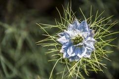 一朵异乎寻常的蓝色花的特写镜头 免版税库存图片
