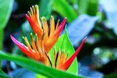 一朵异乎寻常的heliconia花的细节 免版税库存照片