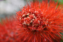 一朵异乎寻常的红色花的抽象细节 库存图片