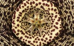 一朵异常的仙人掌花的特写镜头照片背景或纹理的 库存照片