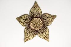 一朵异常的仙人掌花的特写镜头照片背景或纹理的 库存图片